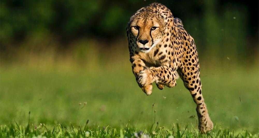 Muere-la-guepardo-más-rápida-del-mundo.-Mírala-correr